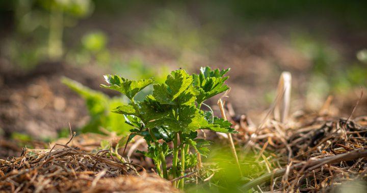 Mulchen: een natuurlijke manier van onkruid bestrijden met vele voordelen
